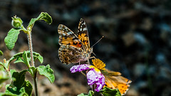 Vanessa cardui - Painted lady - Diken Kelebeği (Street Parrot) Tags: yellow flowers red spring color flower floral blue summer beautiful closeup natural plant butterfly green insect pink garden purple bee flora thistle sunflower blossom pollen flowering lavender blooming pollination wildflower