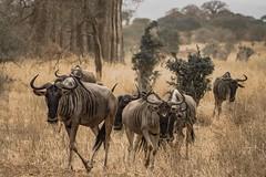 WILDEBEEST (dmberman1) Tags: eastafrica wildlife animals tanzania africasafari tarangirenationalpark