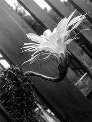 Gift (marktmcn) Tags: cactus flower flowering long stem outstretched blackandwhite monochrome echinopsis oxygona