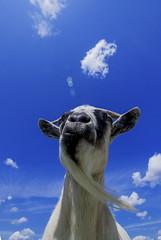 goat (jimcooney84) Tags: goat wide angle burlington hamilton canon 7d mark ii 1018 stm blue sky beard