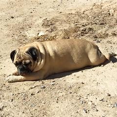 """I'ms too sexy for myself…🎶 Sunbathing in my dirt yard, and lovings it! Happy Sunday!""🌞 PugsleyLuigi  #pug #dog #sexy #backyard #landscape #sunday #sunbathing #dirty #lovingit #zen #love #comingsoon #plants #grass #rocks #dirtyard (TheZenOfPugsleyLuigi) Tags: pug dog sexy backyard landscape sunday sunbathing dirty lovingit zen love comingsoon plants grass rocks dirtyard"