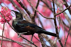 Tui (bevanwalker) Tags: newzealand tui nectar territorial swift fast vocal entertaining beautiful cherrytree banksiitree native