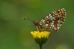 Melitaea deione (11) (JoseDelgar) Tags: insecto mariposa melitaeadeione 425877388733268 josedelgar naturethroughthelens sunrays5 alittlebeauty coth coth5 ngc npc