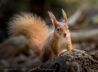 Red Squirell  - (Sciurus vulgaris) Best viewed large (Explored)