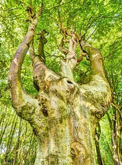 ReachForTheSky - Copy (iankellybn26dj) Tags: england sussex stanmer brighton woods trees summer photo landscape