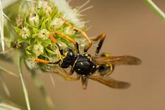European Paper Wasp (Polistes dominula) (The LakeSide) Tags: insect macro nikon r1c1 d7100 wasp paper polistes dominula
