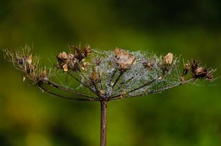 Cobweb on umbellifer after rain