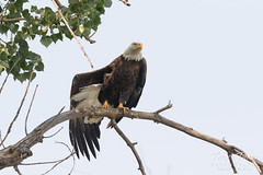 Female Bald Eagle stretches her wings