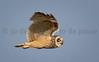 Short-eared Owl | Asio flammeus | Velduil (Jo De Pauw) Tags: kazakhstan wildlifephotography natuurfotografie centralasia jodepauw korgalzhyn shortearedowl астана astana velduil asioflammeus birding photography bird flying