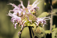 SLT05160 (rudenoon) Tags: sony slta99 sal135f18z garden flowers bergamot interlochen michigan usa