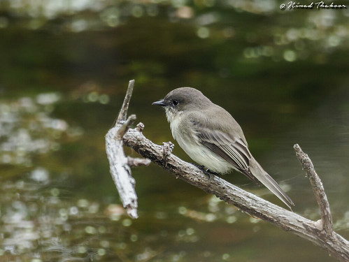 """Eastern Phoebe • <a style=""""font-size:0.8em;"""" href=""""http://www.flickr.com/photos/59465790@N04/36926839870/"""" target=""""_blank"""">View on Flickr</a>"""