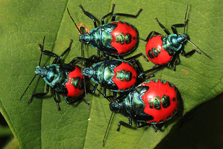 Florida Predatory Stink Bug nymphs - Euthyrhynchus floridanus, Occoquan Bay National Wildlife Refuge, Woodbridge, Virginia