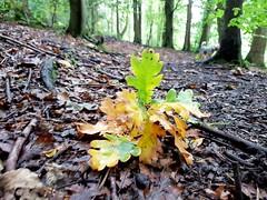 Colours turning (katy1279) Tags: autumncolourschangingseasonyellowgreenbrownleaveswoodswoodland