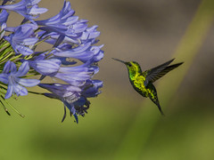 Western emerald hummingbird approaching Agapanthus (PriscillaBurcher) Tags: trochilidae chlorostilbonmelanorhynchus esmeraldacoliazul esmeraldadecolaazul westernemerald esmeraldaoccidental émeraudedesandesoccidentales émeraudeorvert hummingbirdsfromcolombia colibríesdecolombia dsc0262