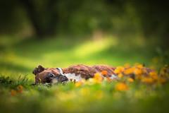 Chillin (Tamás Szarka) Tags: dog pet animal puppy boxer nikon d7100 spring flowers green
