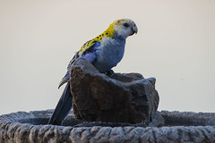 Pale Headed Rosella (Geoffsnaps) Tags: pale headed rosella paleheadedrosella platycercus adscitus platycercusadscitus ilovebirds ilovenature feathers birds animals nature beautiful beautyofnature birdsarebeautiful superbbirds nikond810 nikon d810 fx nikonnikkor200500mmf56eedafs nikkor 200500mm f56e e ed afs induroct414carbontripod induro ct414 carbon tripod acratechgpballhead acratech gp ballhead smileonsaturday featheredfriends