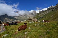 Relax con vista Monte Rosa (supersky77) Tags: mucca cow cattle pasture pascolo monterosa gressoney lys valledellys green glacier ghiacciaio alps alpi alpes alpen aosta valledaosta