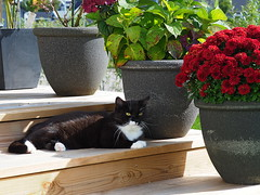 Partly sunny kitty... (vanstaffs) Tags: tussi tuzz tuxedocat t tux tusse tutu tuzz® myprettyliltuxedogirl cutecatkittykitten
