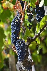 Côte-du-Rhône grapes (Jeanne Menjoulet) Tags: ardèche côtedurhône vineyards tain lhermitage vignoble vin raisin grapes