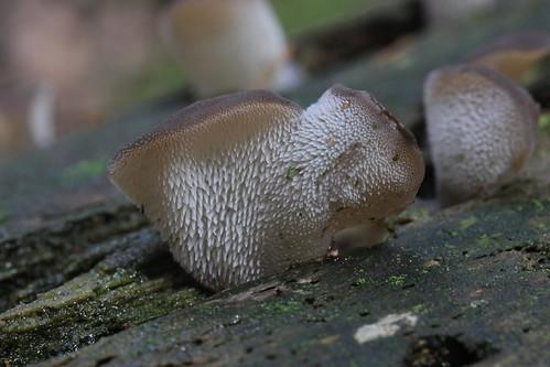 Toothed Jelly Fungus - Pseudohydnum gelatinosum