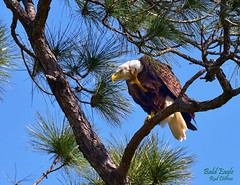 Eye In The Sky (R Dermo) Tags: birds eagle trees nikon nature florida sky
