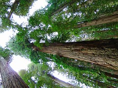 Red Woods (kssrncid) Tags: california redwoods nationalforest trees huge nature historic