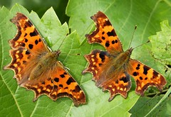 Two Commas. Polygonia c-album (gailhampshire) Tags: two commas polygonia calbum taxonomy:binomial=polygoniacalbum