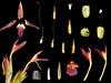 Zingiberaceae Zingiber kawagoii (taiwanicus) Tags: 完全花 perfectflower 兩側對稱 zygomorphy 合辦花 gamopetalous 上位花 epigynousflower 兩性花 bisexualflower 苞片 bract 花萼筒 calyxtube 花瓣 petal 花冠筒 corona tube 花冠裂片 corollalobe 雄蕊 stamen 花絲 filament 花藥 anther 縱裂 longitudinaldehiscence 退化雄蕊 staminodium 離生雄蕊 distinctstamens 合生雄蕊 syndunamousstamens 雌蕊 pistil 子房 ovary 花柱 style 柱頭 stigma 胚珠 ovule