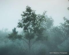 21 September 2017:  Fog in the morning (RobinMSP) Tags: september2017c dailywalk summer nature fog trees meadow morning easternshore maryland maidinsunphotography