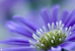 Purple sweetness (Trayc99) Tags: flower floralart flowerphotography floral purple pure softbackground beautyinnature beautyinmacro beautiful