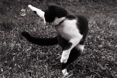 Playing with bubbles (Letua) Tags: tuna animal blackwhite blancoynegro burbuja cat enjoying gato juego jugando mascota pet