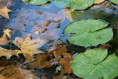 Almost Fall. (Valderreydavid) Tags: cian anuro rana frog