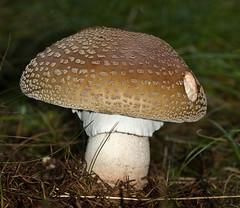 Rødmende fluesvamp (Amanita rubescens) - European Blusher - Perlpilz (Søren Vinding) Tags: svamp