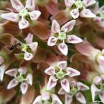 Butterfly Milkweed Flowers - Fleurs à papillion de l'Asclépiade thumbnail