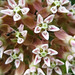 Butterfly+Milkweed+Flowers+-+Fleurs+%C3%A0+papillion+de+l%27Ascl%C3%A9piade
