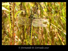 Lance-tipped Darner (7247) (fbc57) Tags: aeshnidae odonata dragonflies aeshnaconstricta lancetippeddarner nikond800 sigma150f28exapomacro bristol bristolwetland vermont