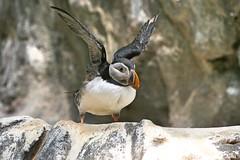 Papagaio do mar (Helderlopesfotos) Tags: papagaiodomar oceanário lisboa nature bird ave beach light park platinumheartaward greatphotographers