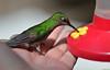 Over my hand. (Carlos Arriero) Tags: monteverde costarica colibrí hummingbird color colour colors bird pájaro ave nature naturaleza nikkor nikon d800e 105mm28 carlosarriero overmyhand sobremimano verde green ngc natgeo
