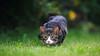 'My Favourite Stalker' (Jonathan Casey) Tags: kitten tabby white pounce garden grass nikon d810 200mm f2 vr