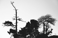 long wait (<be>) Tags: hairless bare baretree trees sky tothesky fromadistance