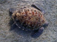 Chelonia mydas (bathyporeia) Tags: cheloniamydas reptile reptilia turtle egypt abudabbab