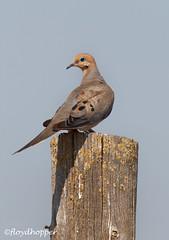 Mourning Dove (fhopper14) Tags: doves californiabirds birds