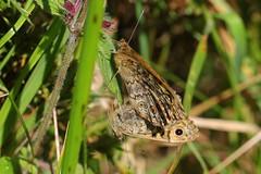 Walls mating - Nine Barrow Down Dorset - 100817(7) (ailognom2005) Tags: insects britishinsects butterflies butterfliesmothsandcaterpillars wallsmating ninebarrowdowndorset macro dorset dorsetwildlife
