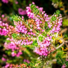upside down (ChicqueeCat) Tags: nikon d3300 macro 40mm flowers bee flora fauna