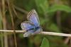 Silver-studded Blue (Plebejus argus) (greggys stuff) Tags: silverstuddedblue plebejusargus nicholastonburrows gower