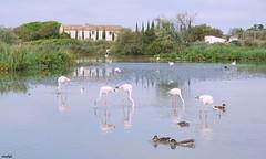 Flamants rose parc ornithologique de Pont de Gau (Missfujii) Tags: flamant oiseaux oiseau ornithologique eau nature