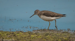 Green Sandpiper at the waters edge.