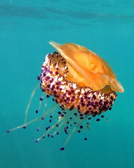 Cotylorhiza tuberculata (explored) (jeanmarie.gradot) Tags: coth méduse medusa huevo jellyfish méditerranée calp spain espagne snorkeling explore explored