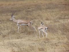 DSC00365 (francy_lioness) Tags: safari jeep animals animali ippopotami leone savana gnu elefante iena pumba tanzaniasafari ngorongorocratere gazzella antilope leonessa lioness facocero