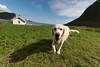 Værøy, Lofoten (Joachimsen Photography) Tags: lofoten mostad måstad hund værøy